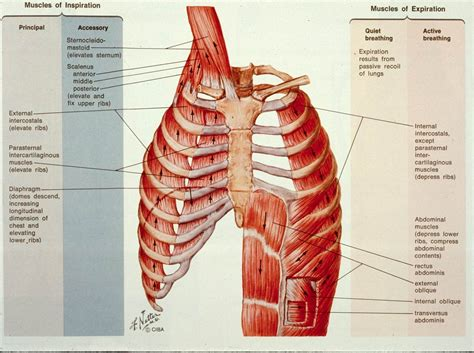 chest anatomy diagram ribs and diagram of chest anatomy rib cage
