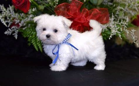 maltese puppies for sale dallas maltese puppies for sale dallas tx 203828 petzlover