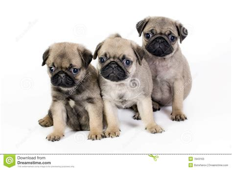 three pugs three pug puppies stock photos image 7843163