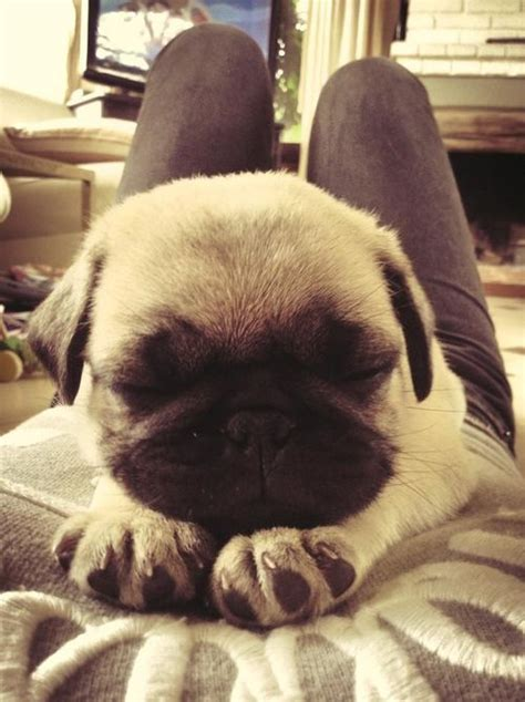 pug keeps paws 1000 images about pug puppppiieess on pug pug puppies and pug puppies