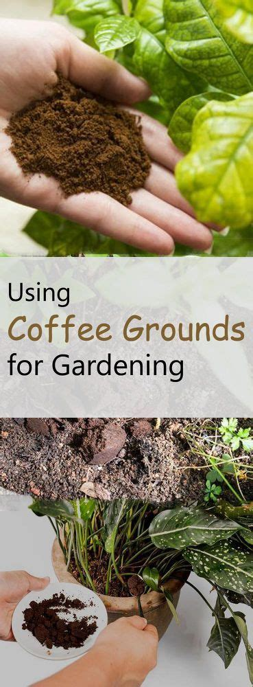 Coffee Grounds Gardening by Best 25 Coffee Grounds Garden Ideas On