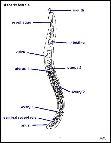 labelled diagram of ascaris principles of parasitism ascaris