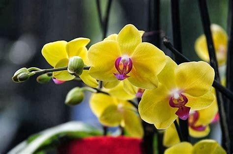 Orchidee Come Curarle In Appartamento by Orchidee Come Curarle Piante Appartamento Come Curare