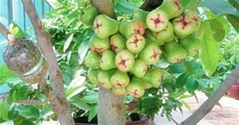 Pupuk Untuk Bunga Supaya Subur cara agar tanaman dalam pot cepat berbuah