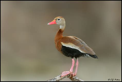 black bellied whistling duck page