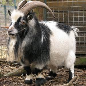 Owning A Goats Pictures