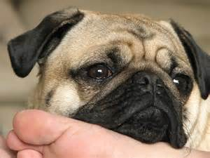 <strong>Pug</strong>_dog_nose_face_detail.JPG