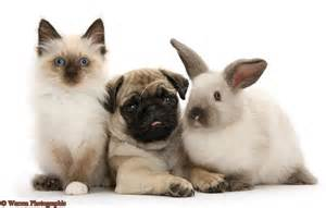 26915-<strong>Pug</strong>-pup-with-Colourpoint-rabbit-and-kitten-white-background.jpg