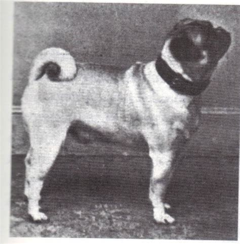 pugs 100 years ago these breeds didn t look like this 100 years ago page 16 of 62