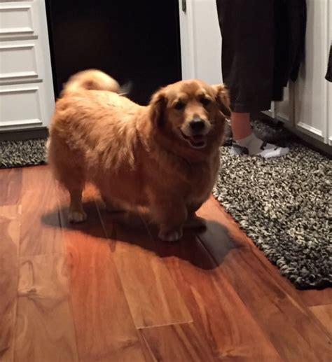 golden retriever and corgi mix corgi golden retriever mix www pixshark images galleries with a bite