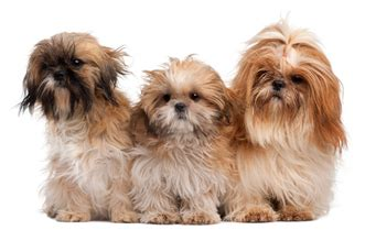 shih tzu temperament playful what you need to about the shih tzu shih tzu puppies shitzu puppies