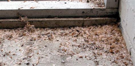 Pakan Burung Walet Yang Baik menggagas laron sebagai pakan burung alternatif om kicau