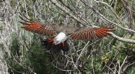 """northern flicker (""""red shafted"""" form) mcgill campground"""