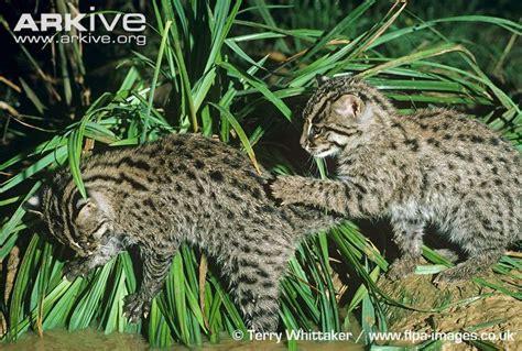 Inidia Cat 44 fishing cat photo prionailurus viverrinus g18046 arkive