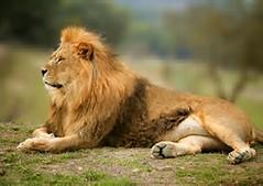 ... de la Selva - Felinos salvajes - Animales muy hermosos de la sabana