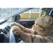 Funny Cat Pictures With Driving Car Full HD Wallpapers Points