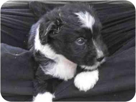 miniature collie puppies for sale miniature collie puppies for sale breeds picture