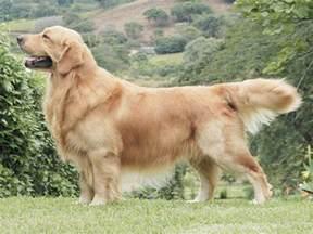 goldene le photo chien golden retriever 1279 wamiz