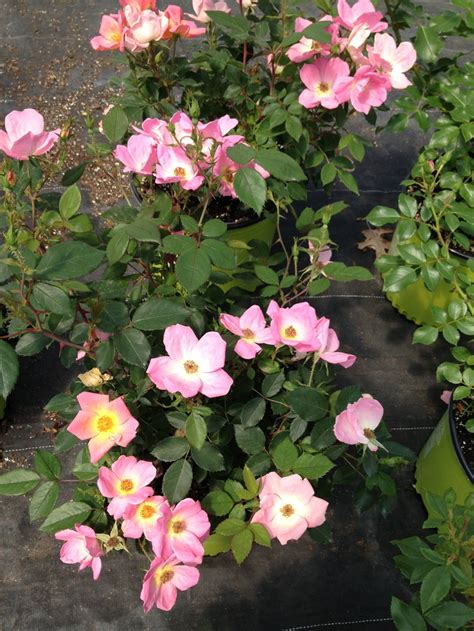deadheading knockout roses 17 best images about knock out roses on