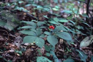 how to hunt for wild ginseng 11 steps with pictures hunting ginseng how to find and dig wild american ginseng
