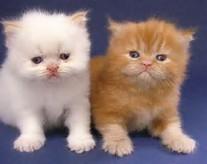 Mengembangbiakkan & Perawatan Kucing Ras Asli Persia