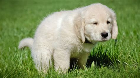 how to potty a puppy at how to potty your puppy k9adviser