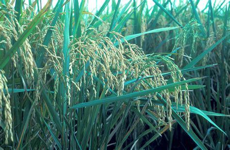 zakat hasil pertanian wikipedia bahasa indonesia