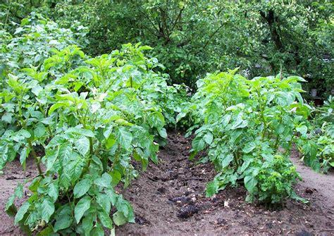 kartoffeln im garten garten kartoffelanbau bild vom kartoffelbeet anh 228 ufeln der