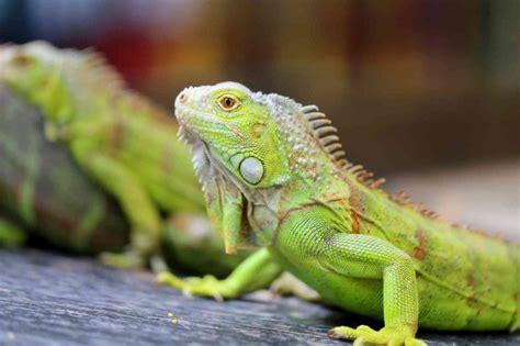 iguana alimentazione iguana verde in casa carattere e alimentazione donnad