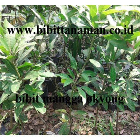 Jual Bibit Mangga Namdokmai jual bibit tanaman unggul murah di purworejo