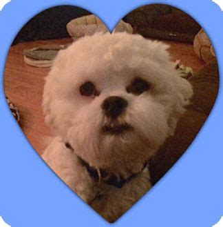 shih tzu rescue tulsa tulsa ok bichon frise shih tzu mix meet adopted romeo il a for adoption