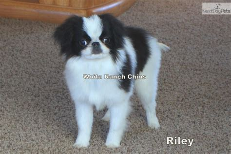 japanese chin puppies for sale near me japanese chin puppy for sale near grand island nebraska 4b1d767c db41