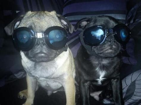 goggles for pugs pug in goggles meme slapcaption animals