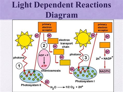 light reaction diagram 1 what is photosynthesis why is the sun important ppt