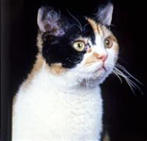 american wirehair cat breeders cat breeds