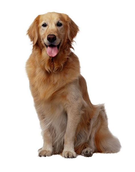 what breeds make a golden retriever golden retriever breed profile