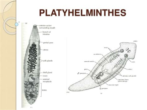 diagram of platyhelminthes platyhelminthes