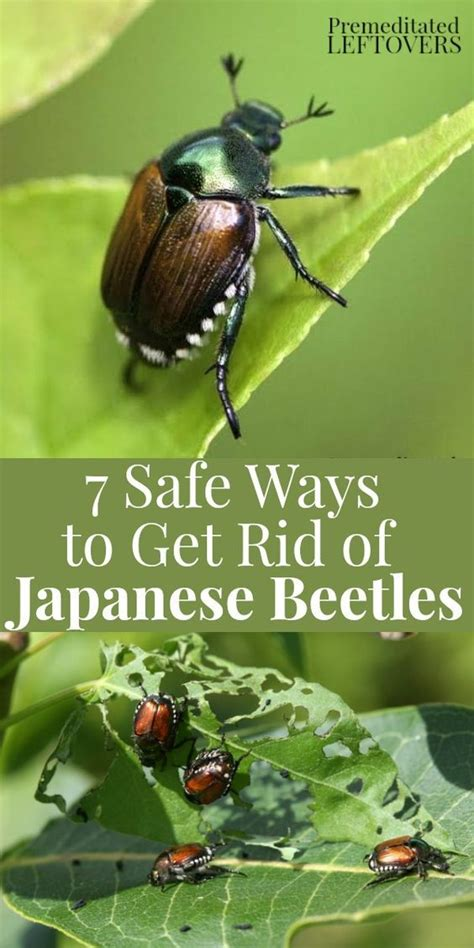 7 safe ways to get rid of japanese beetles in the garden organic gardening gardens and plants