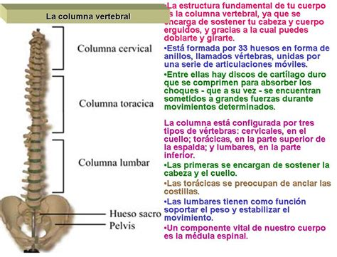 la columna de la huesos de la columna vertebral sistema 243 seo
