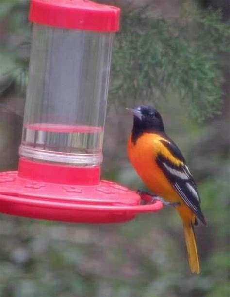 17 best images about orioles on pinterest backyards