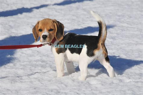 beagle puppies for sale in oregon gem beagles oregon beagles washington beagles chion beagles beagle puppies
