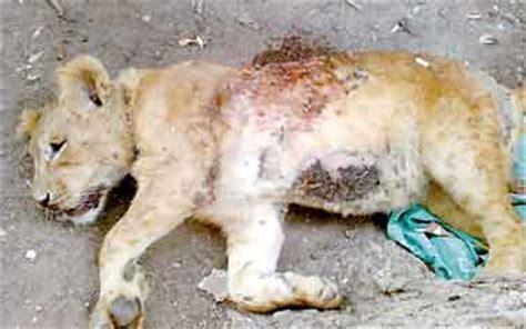 Lion Cub Shot Dead In Egypt   Big Cat Rescue