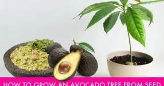 info budidaya ternak  menanam pohon alpukat  biji