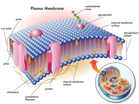 diagram of a section of a cell membrane pemt gene mutations choline phospholipids metabolic