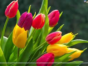 colors of tulips tulip wallpapers keywords here