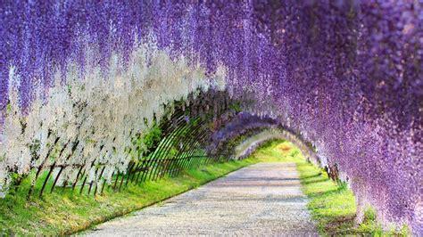 kawachi fuji garden kawachi fuji garden wisteria tunnel japan youtube