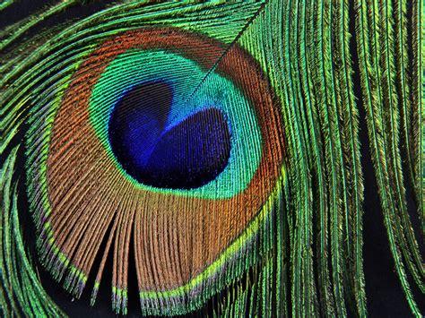 bild pfauenfeder pfauenfeder 001 kostenloses hintergrundbild