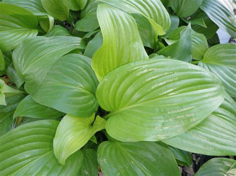 hostas knecht s nurseries landscaping