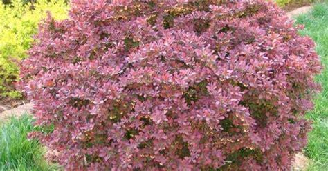 pin by mike wilczynski on deer resistant plants pinterest berberis vulgaris shade loving plants pinterest