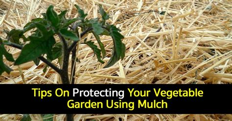 vegetable garden mulch vegetable garden mulch how to use mulch in the garden